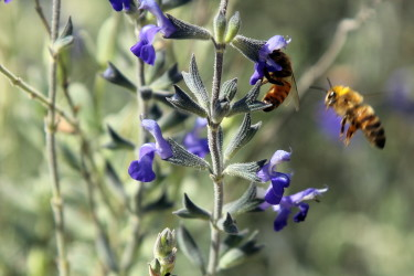 Blue Sage Nectar