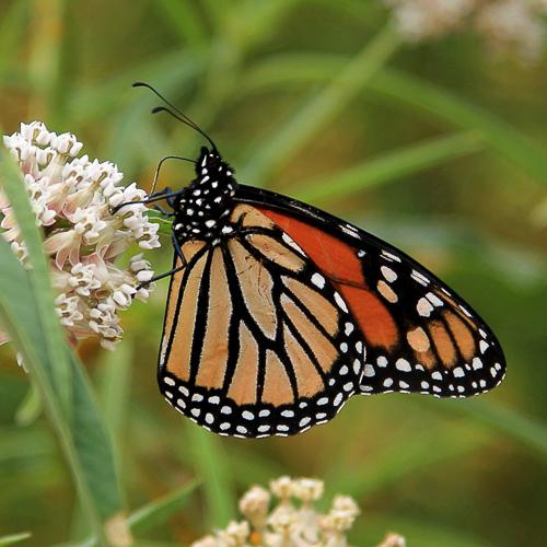 monarch hindwing