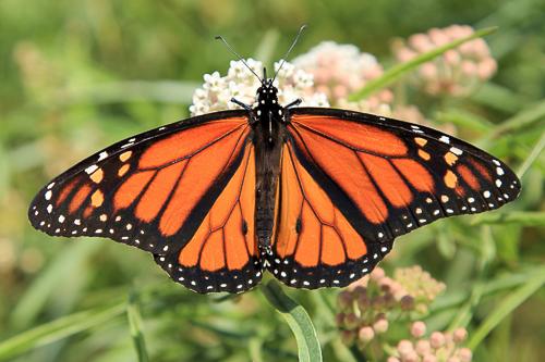 monarch topside